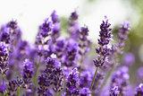Natuurlatex kussen met lavendel - SITHON IV _